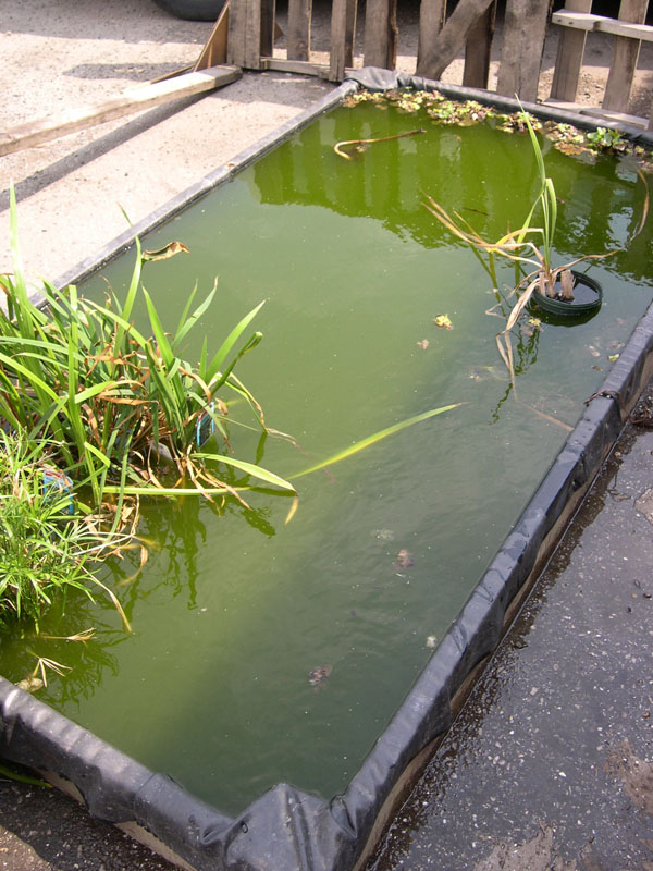 Green pond water uv sterilizers koi ponds for Green water in pond