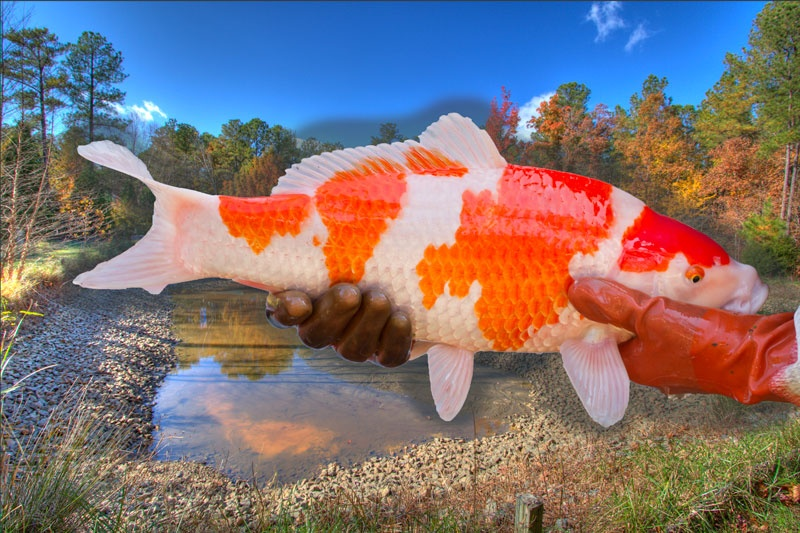 growing jumbo koi how to grow large koi