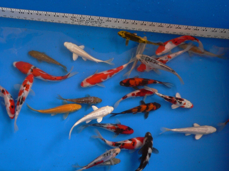 Japanese koi sale toronto ontario koi store for Koi fish size