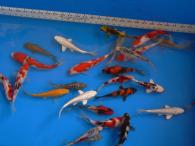 Japanese koi sale toronto ontario koi store for Expensive koi for sale