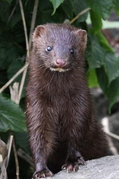 Mink are semi aquatic animals who will fish out an entire pond