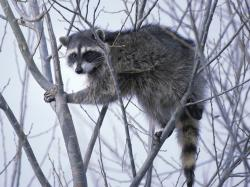 Raccoons can be a problem in shallow ponds. If they can't get fish, they destroy plants