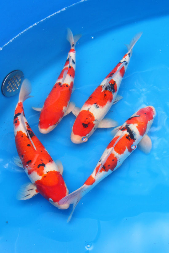 Related keywords suggestions for sanke for Koi varieties