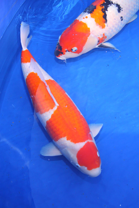 Image gallery kohaku sanke showa koi for Koi kohaku japanese