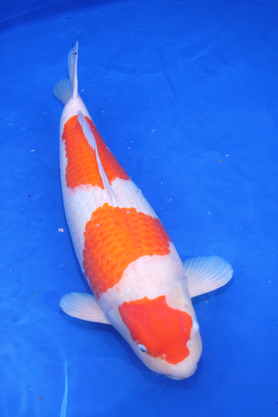 Gosanke japanese koi kohaku showa sanke and taisho sanke for Koi kohaku japanese