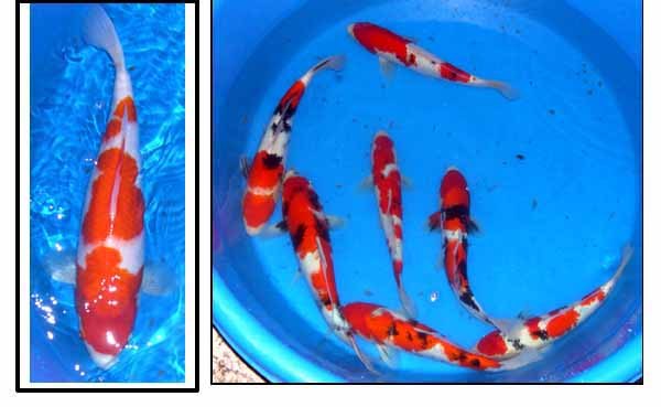 Pond construction pictures kohaku koi bowl pond pump box for Kohaku koi fish for sale