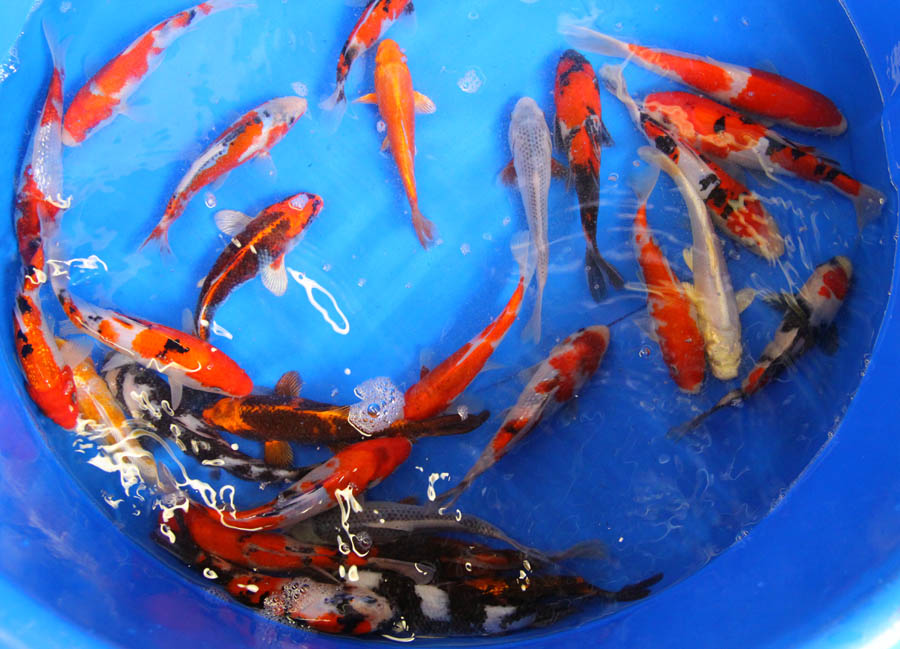 Waterfalls pictures show quality koi photos for Mini koi fish
