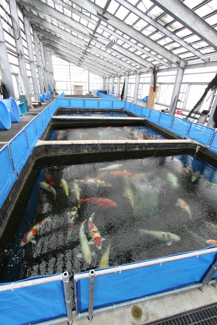 Japanese koi farm pictures for Japanese koi breeders