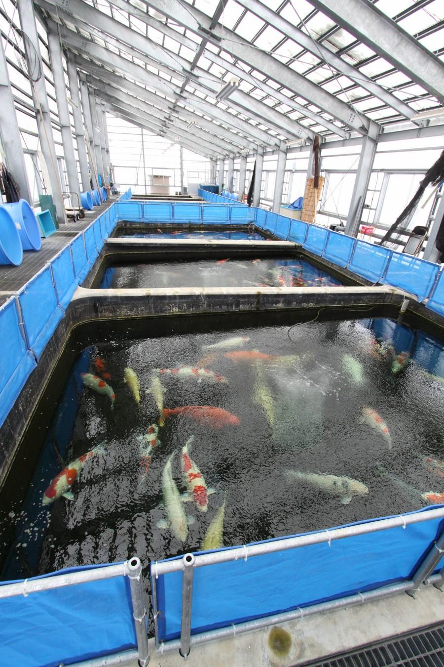 Japanese koi farm pictures for Japanese koi pool