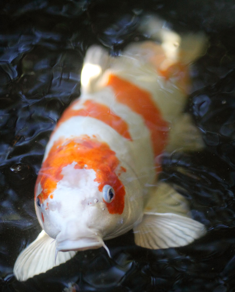 Real koi fish head for Koi goldfisch