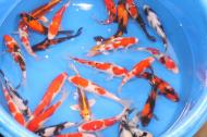 koi for sale Toronto