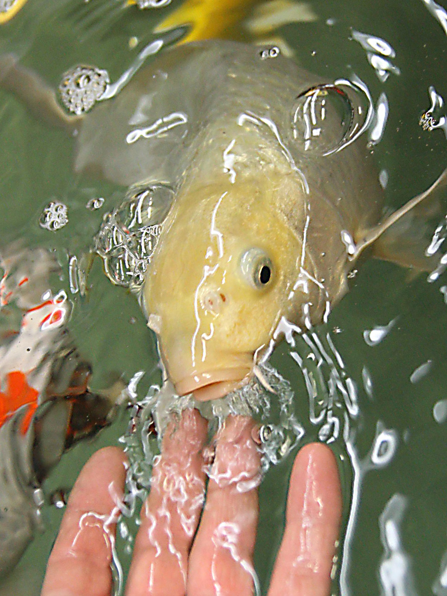 Japanese koi and pond and waterfall photographs for Koi feeding
