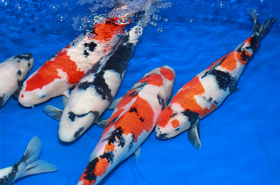 Japanese koi and pond and waterfall photographs for Japan koi fish pond