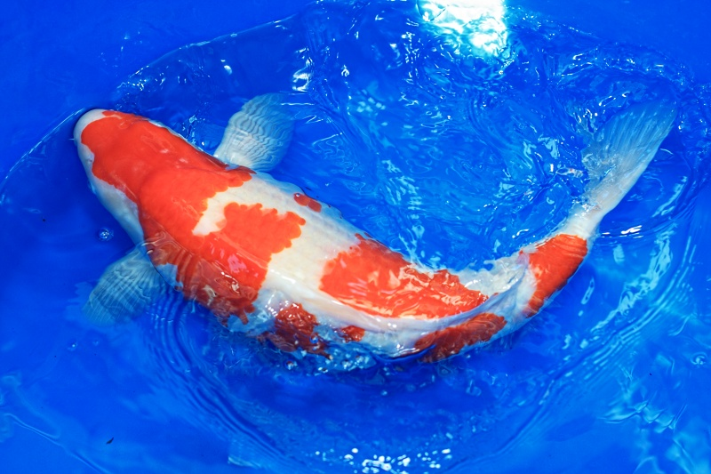 Clarke koi news and pond information and pictures for Koi pool opening times