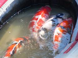 "A fantastic start to any koi collection featuring ""The big 4"""
