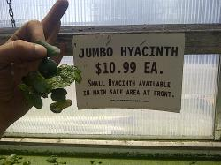 "A competitors ""jumbo hyacinths"". I'm sure there were bigger ones, but our jumbos are only $5"