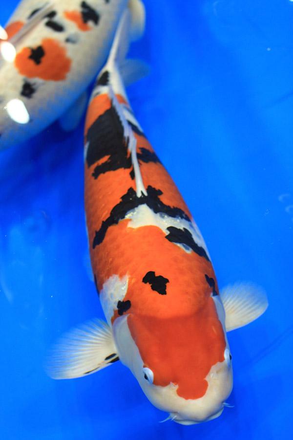 Koi pond photography take koi pictures for Artificial koi fish