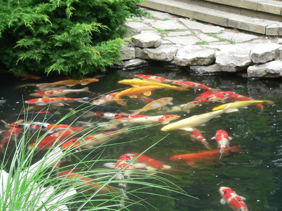 Seasonal koi care winter pond care for Koi pond maintenance service