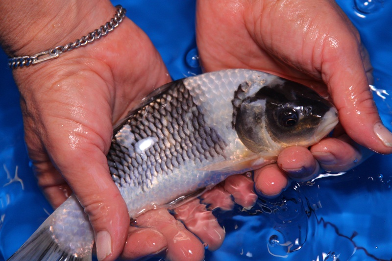 Quality koi selection koi purchasing tips for Different types of koi fish