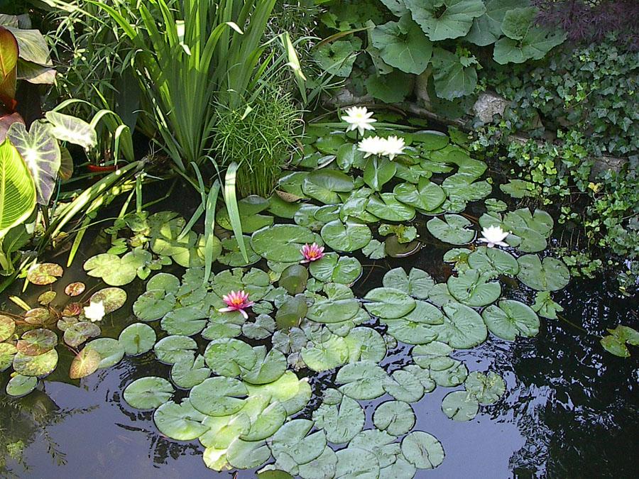 Seasonal koi care winter pond care for Koi pond temperature